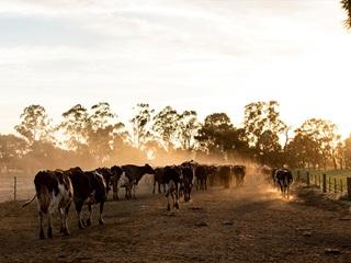 Herd of cows walking amongst dusty path